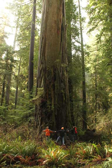 Rally Around the Giant Coast Redwood