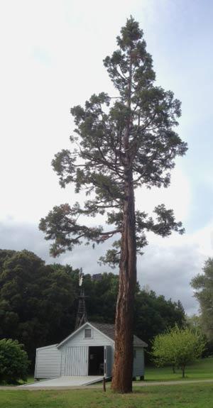 John Muir Tree Today