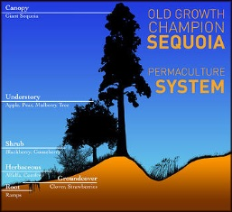 Old Growth Sequoias and the Permaculture System