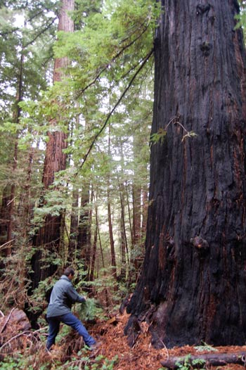 Ancient Coast Redwood