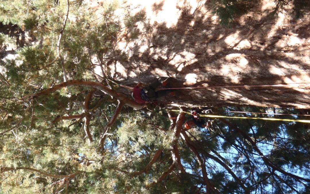 Heritage of Archangel Trees Revealed