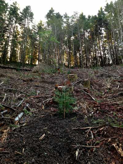 planted Champion Tree