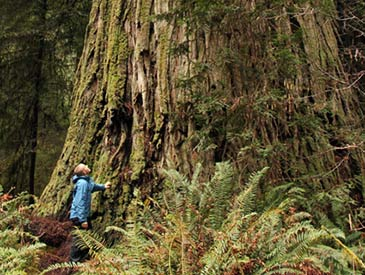 Save the Endangered Ancient Redwoods