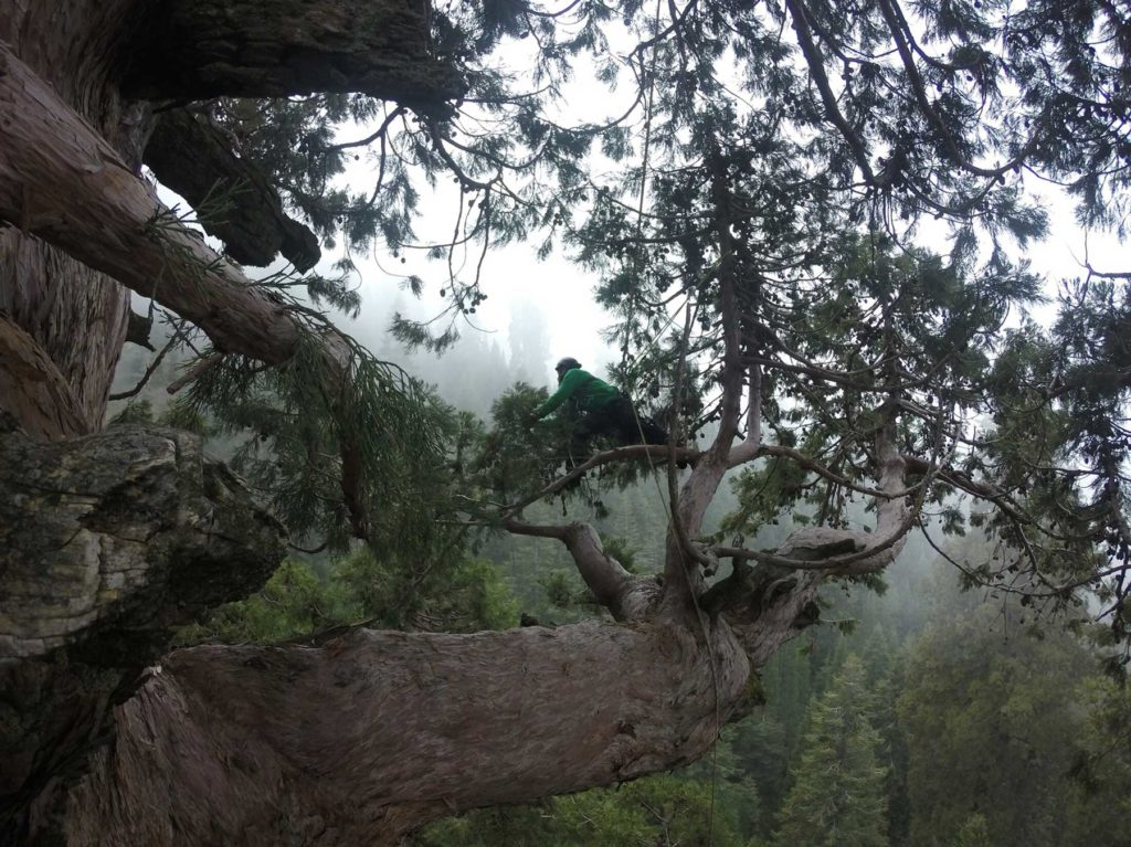 Archangel arborist collects genetic tissue from 3,000 year old Giant Sequoia.