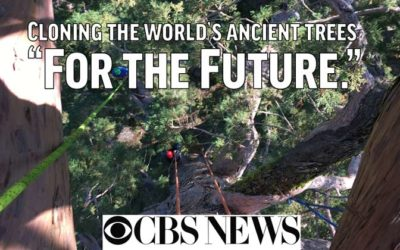 CBS News: Cloning Trees for the Future