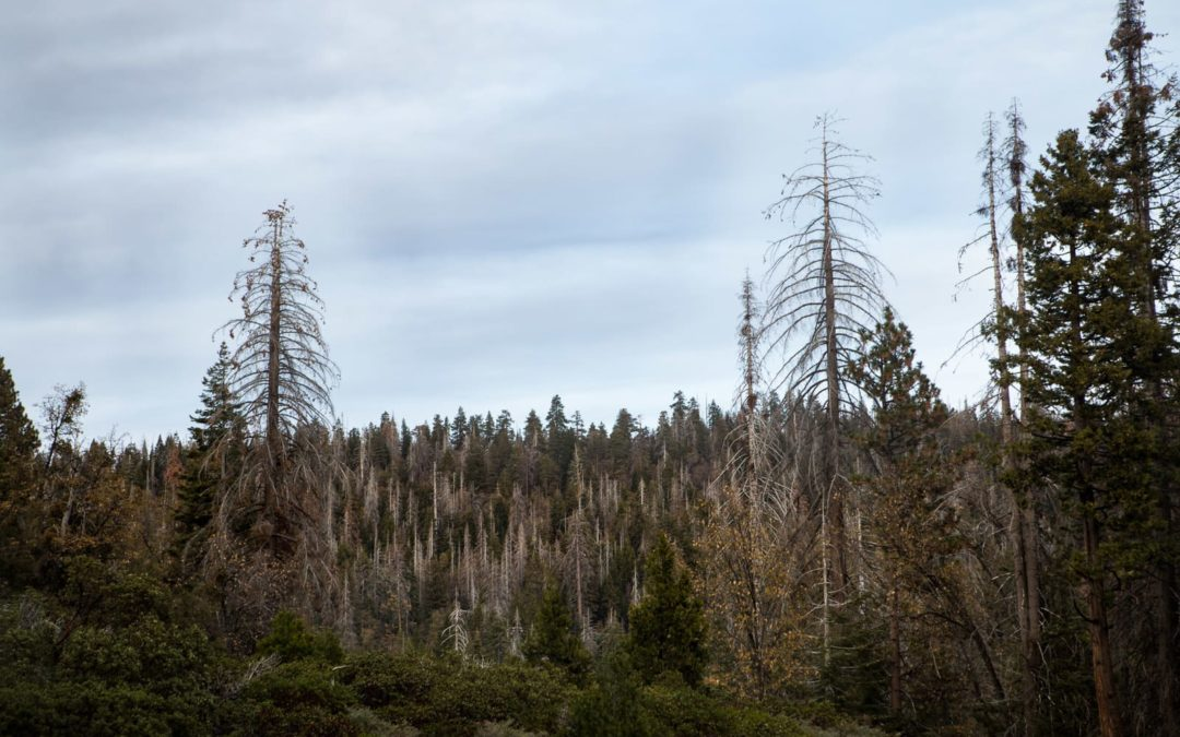 California's Trees are Dying