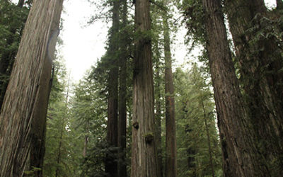 Cloned ancient redwood trees could be the key to fighting climate change
