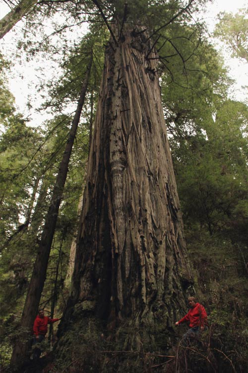 Donate a Certified Champion Coast Redwood Planting
