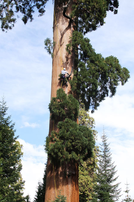 Climbing an Ancient Giant Sequoia